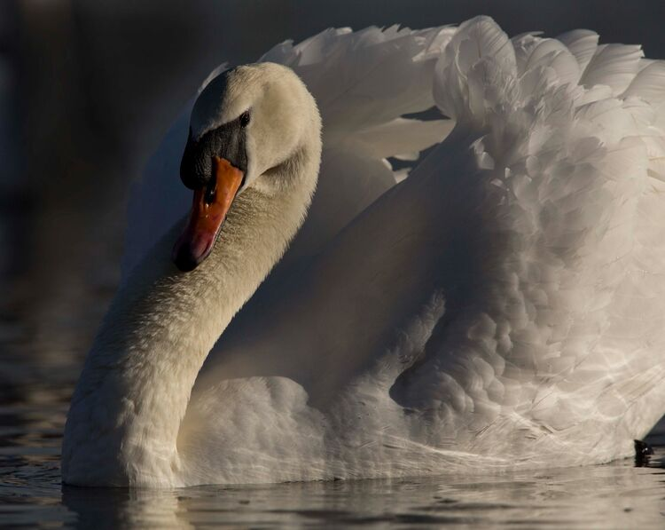 Male Mute swan in the morning light.
