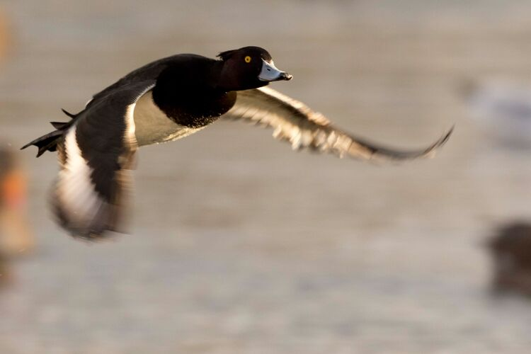 A Tufted Duck in Flight