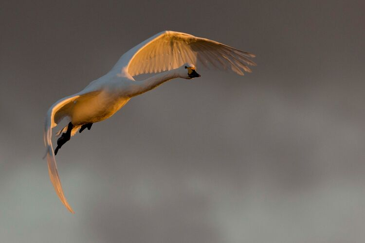 A Whooper Swan in flight.