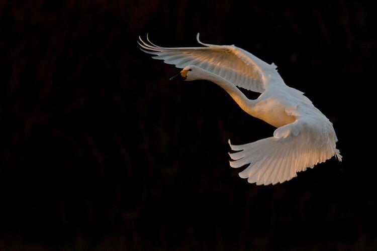 A Whooper Swan in flight.