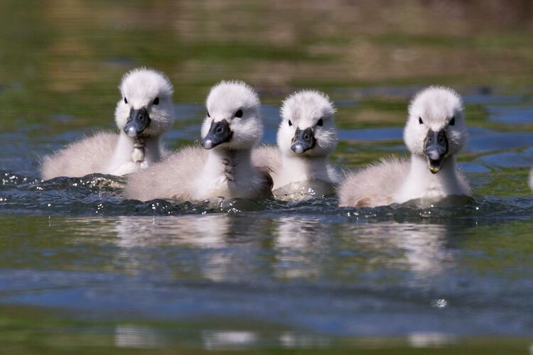 Cygnets on the canal.