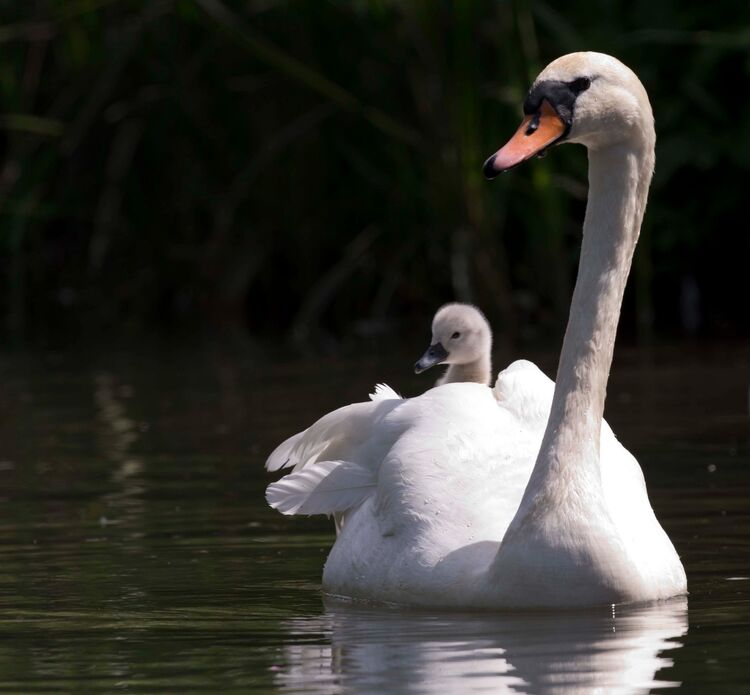 Cygnet catching a ride with Mother.