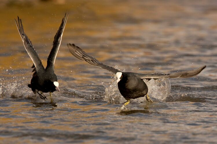 A Coot chasing his prospective mate.