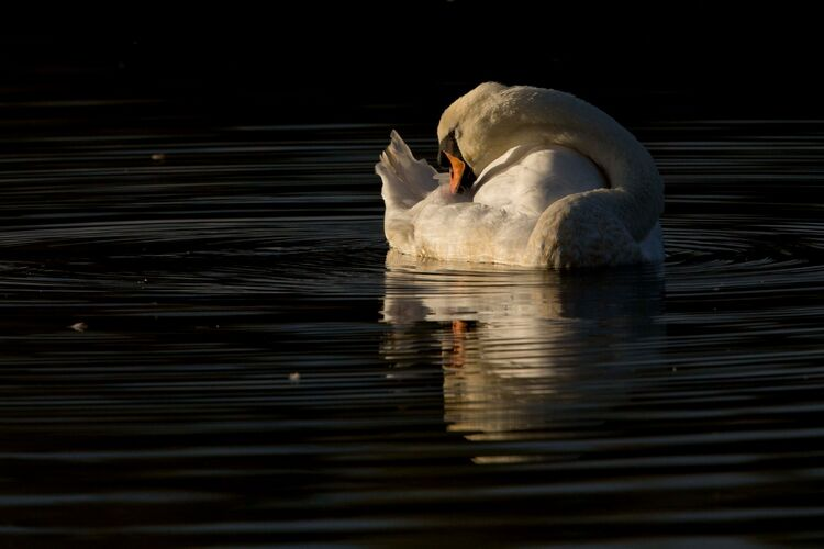 Male Mute swan in the evening light.