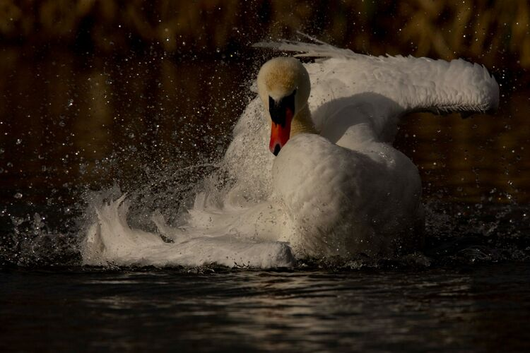 A Mute Swan washing.
