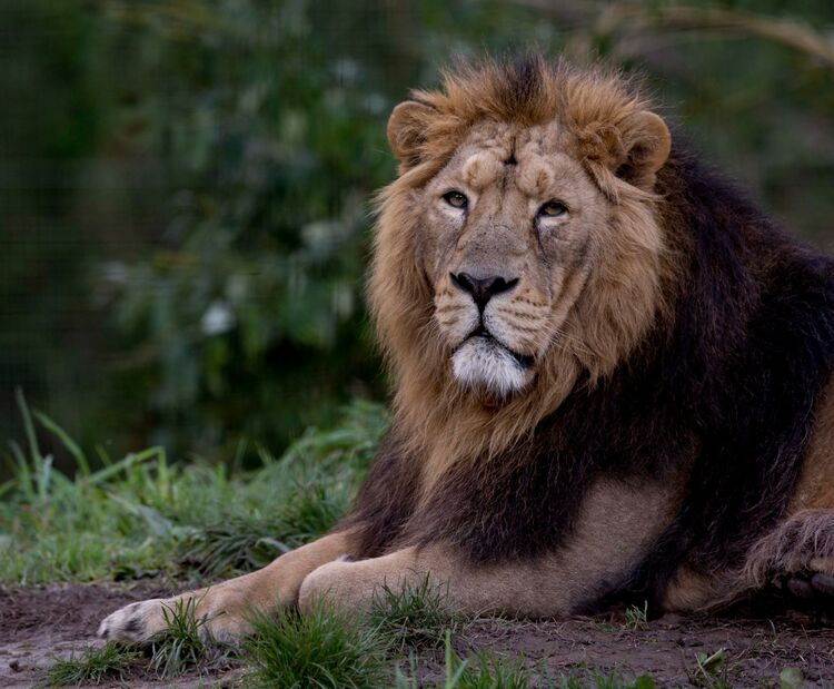 An Asiatic Lion at Cotswold wildlife park.