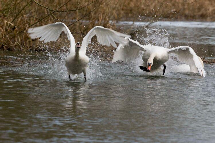 Territorial Swans