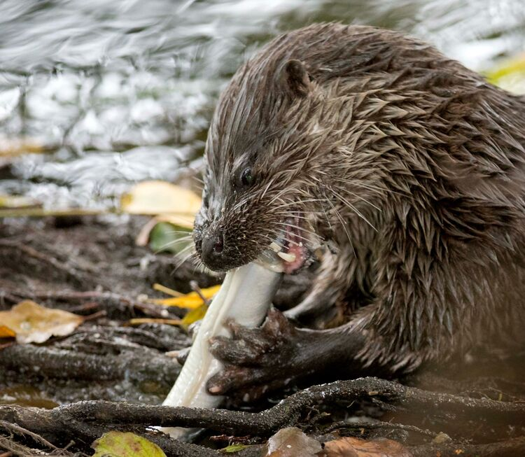 An Otter eating an eel on the River Frome in Stroud.