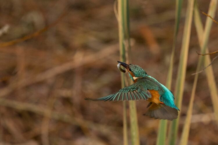 A Common Kingfisher flying away with its catch.