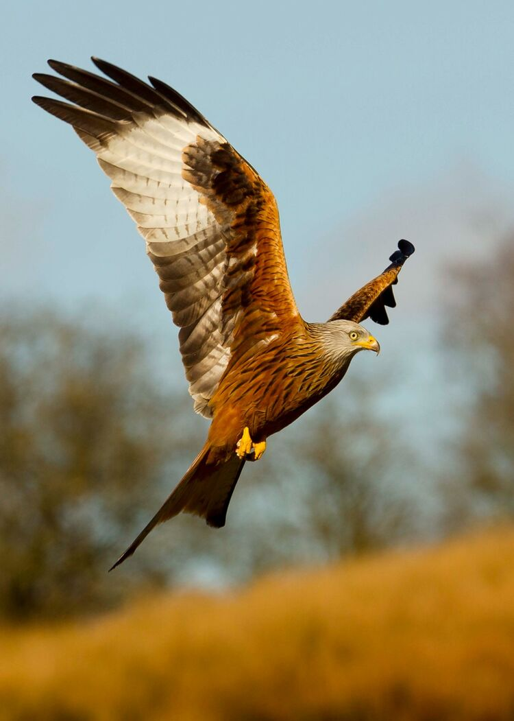 A Red Kite at Gigrin Farm Wales