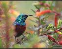 Sunbird Iridescence