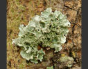 Large Lichen Colony