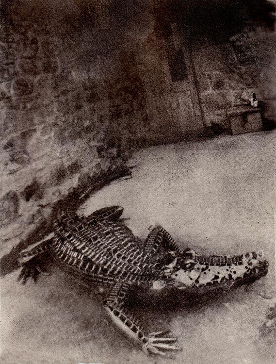 The Gator in the Yard