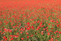 'A Sea of Red'
