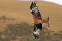 Red Kite hunting low