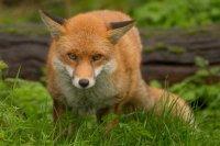 European Red Fox