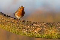 Robin in Winter Sunlight