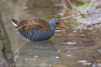 Water Rail, Master of Disguise