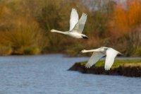 Bewick's Swans in Flight
