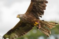 Red Kite Close-up