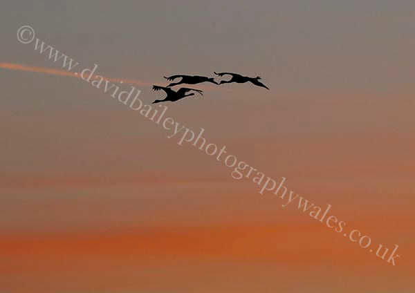 Avalon cranes