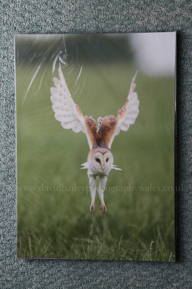 Barn Owl. Wrinkle effect due to protective cello bag. (to be removed)