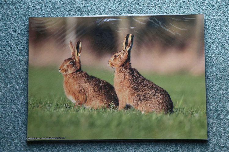 Hares. Wrinkle effect due to protective cello bag. (to be removed)