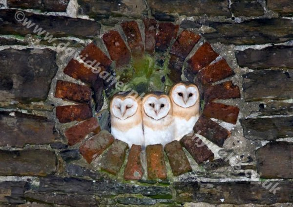 The three wise owls (Barn owls)