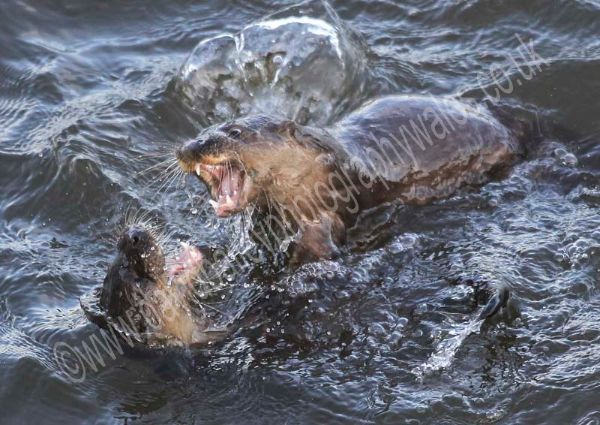'Monsters' Otter Cubs.