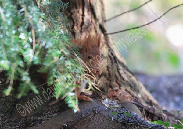 Red Squirrel, sneaky lunch