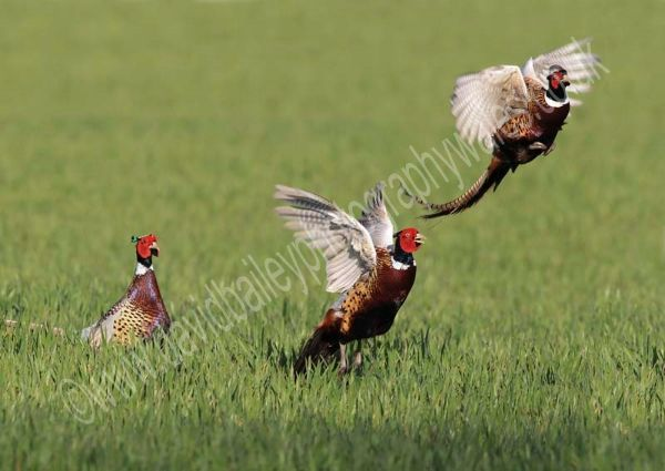 Pheasant Cock Fight