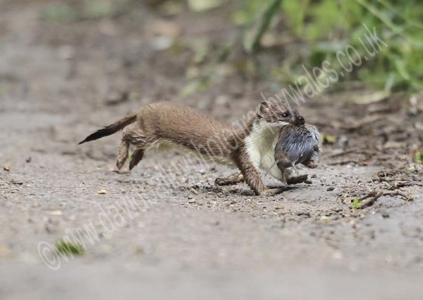 Stoat with mouse
