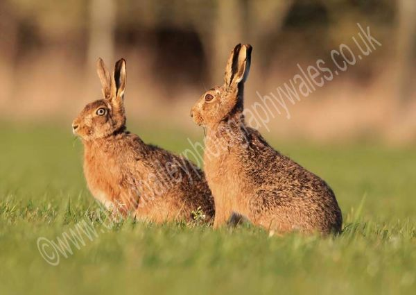 Evening Hares