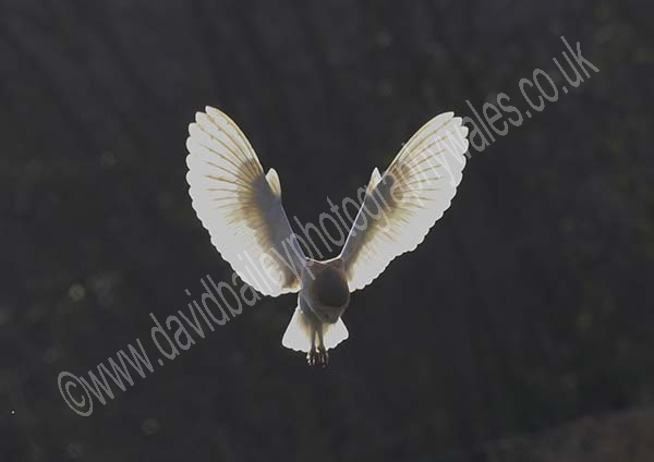 'Angelic' Barn Owl photo featured on BBC's Springwatch 2013