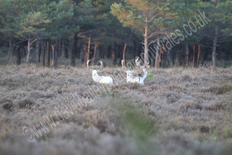 White Bucks
