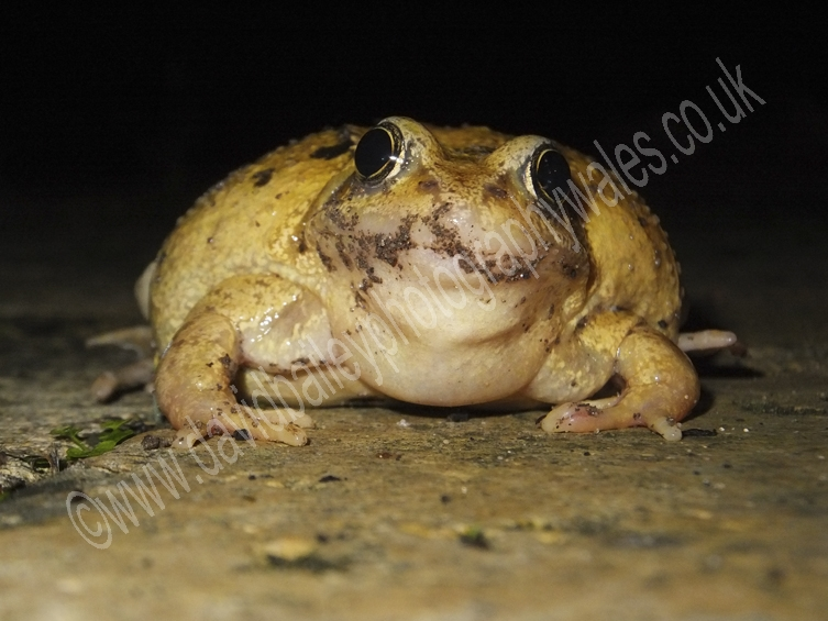 Big fat Frog