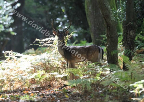 Early morning Fallow Deer
