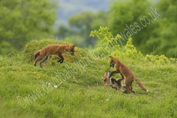 FOX CUBS PLAYING