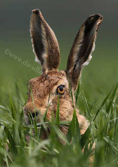 Hare eye am