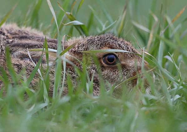 Hare Eye to Eye