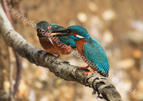 Kingfisher feeding young