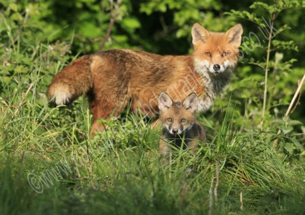 CUB WITH DOG FOX