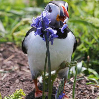 Bluebell Puffin
