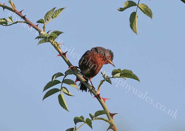 Thorn bird (Dartford warbler)