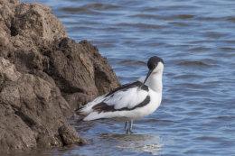 Avocet (Recurovirostra avosetta)