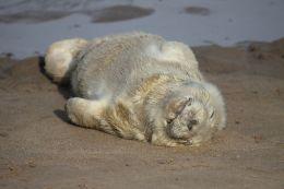 Baby Grey Seal ( Halichoerus grypus )