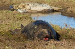 Bull seal ( Halichoerus grypus )