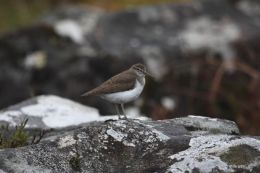 Common Sandpiper (Actitis hypoleucos )