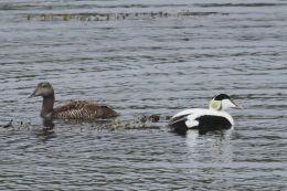 Eider Duck ( Somateria mollissima )
