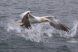 Gannet ( Morus bassanus)